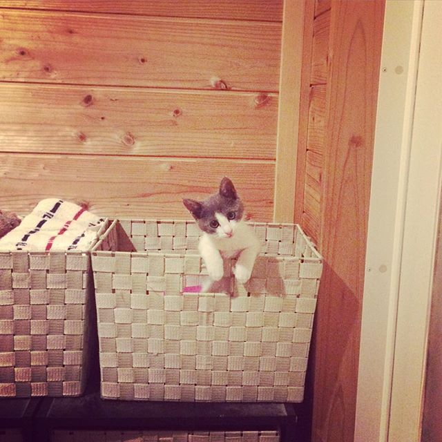最近は、私がお風呂から出てくるのをタオル入れのカゴに入って待っててくれるようになりました。#猫#イナリ君#どこでもついてくる