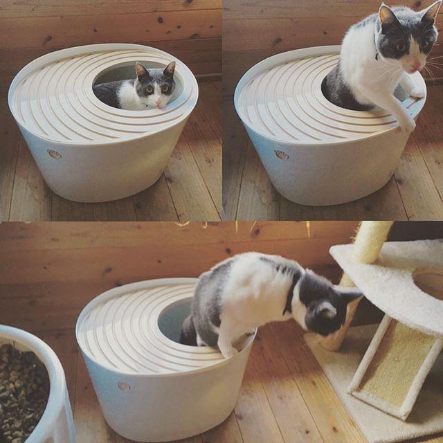 上から入ってするトイレ。・初めは嫌がってたけど、ちゃんとやってるやってる....笑。#cat #猫のトイレ #見られたって顔してる