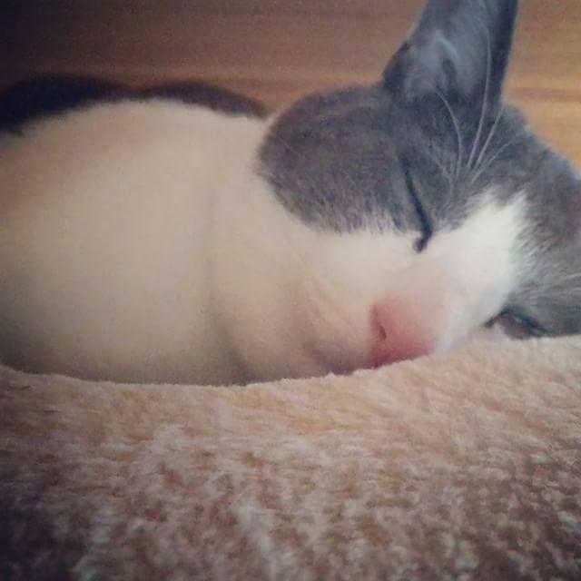 むにゃむにゃ。・#猫#cats#capri